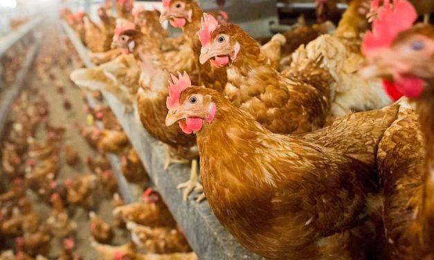 Stall für 14.950 Hennen in Nieheim geplant